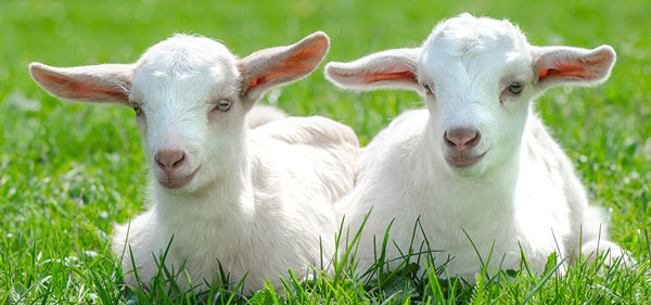 Two Goats